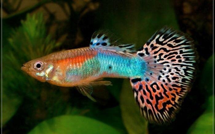 Cá 7 màu dễ nuôi ở Việt Nam