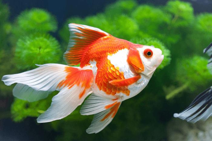 Cá ba đuôi nước ngọt