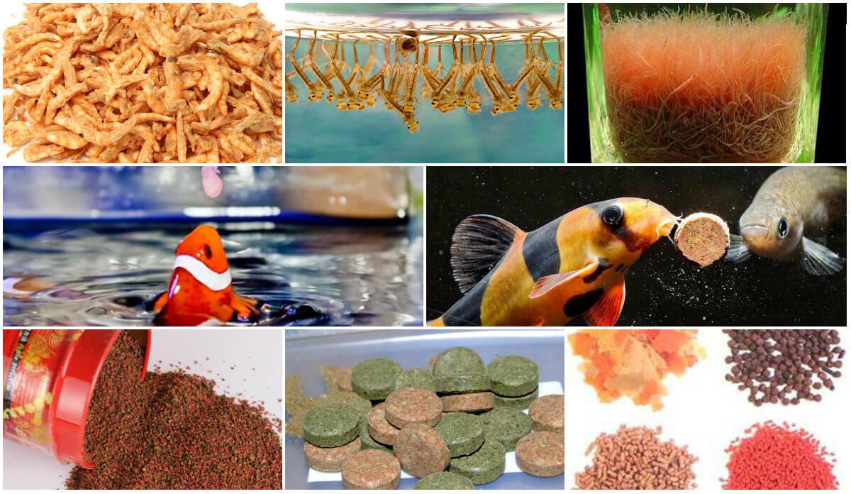 Cá cảnh ăn gì? Top 10 loại thức ăn tốt nhất cho cá cảnh