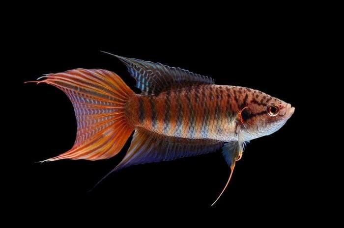Cá đuôi cờ thích hợp nuôi ở Việt Nam
