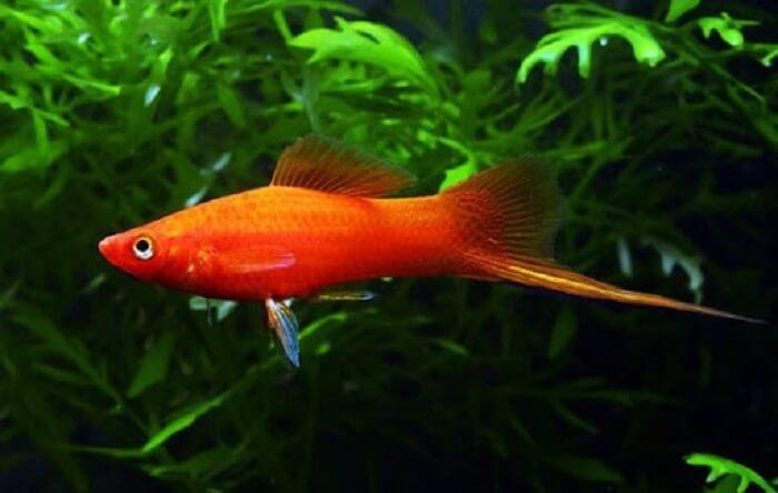 Cá đuôi kiếm vàng