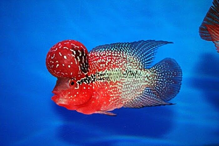 Cá La Hán được khá nhiều người yêu thích