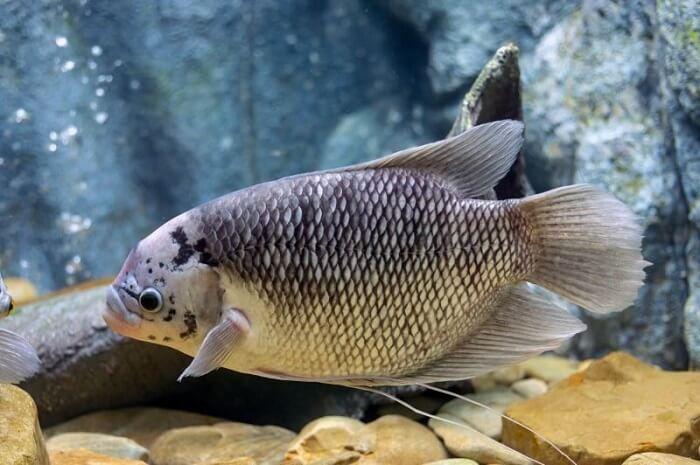 cá tai tượng được nuôi chủ yếu ở vùng đồng bằng Nam Bộ
