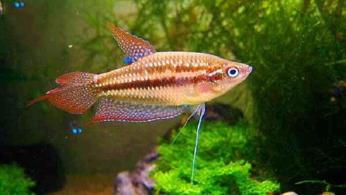 Cá thanh ngọc với tên gọi khác là cá bãi trầu