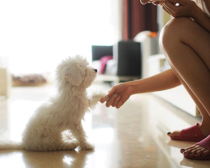 2 tháng tuổi là thời điểm tốt nhất để huấn luyện chó Poodle