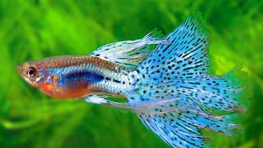 Cách nuôi cá bảy màu lên màu đẹp và nhanh sinh trưởng