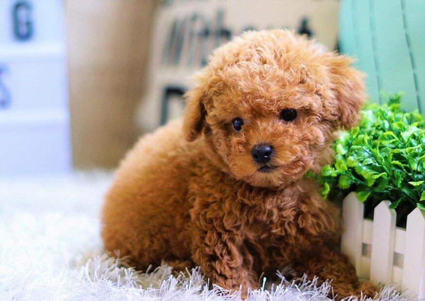 Chia sẻ kinh nghiệm cách nuôi chóPoodle chi tiết nhất cho những người yêu chó