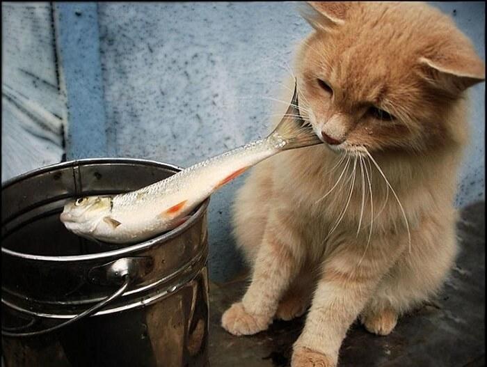 Mèo rất thích ăn cá