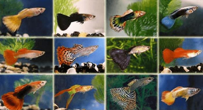 Một số loại cá bảy màu phổ biến hiện nay