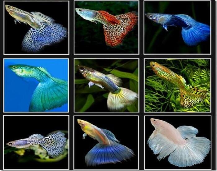 Cá 7 màu cần được nuôi trong nhiệt độ phù hợp