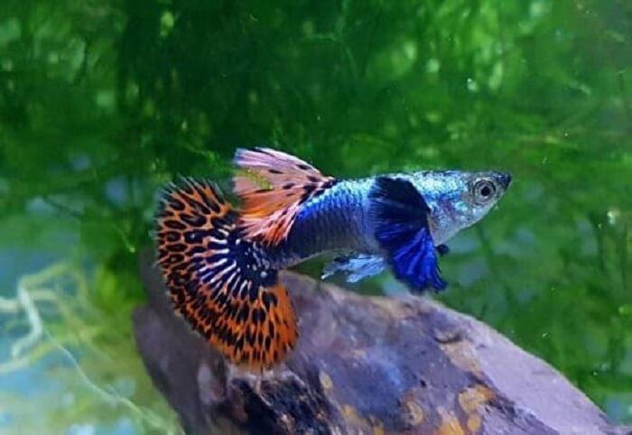 Cá 7 màu cần nuôi trong nước không có Clo