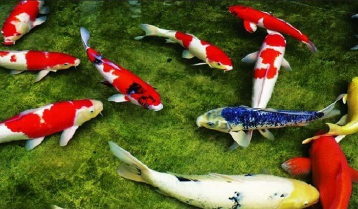 Cá Koi đang được ưa chuộng nuôi ở Việt Nam hiện nay