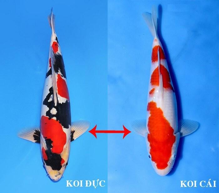 Phân biết cá đực và cá cái