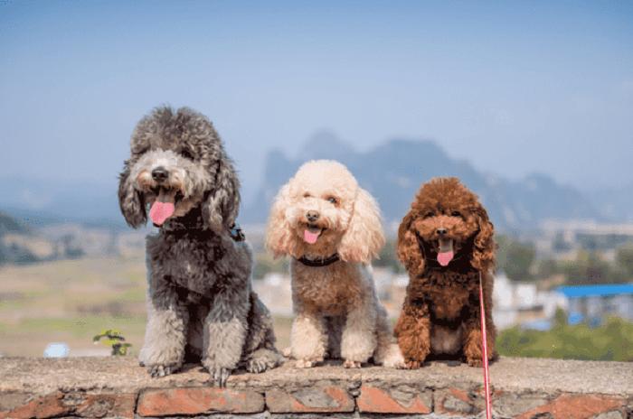 Các giống chó Poodle đều rất đáng yêu