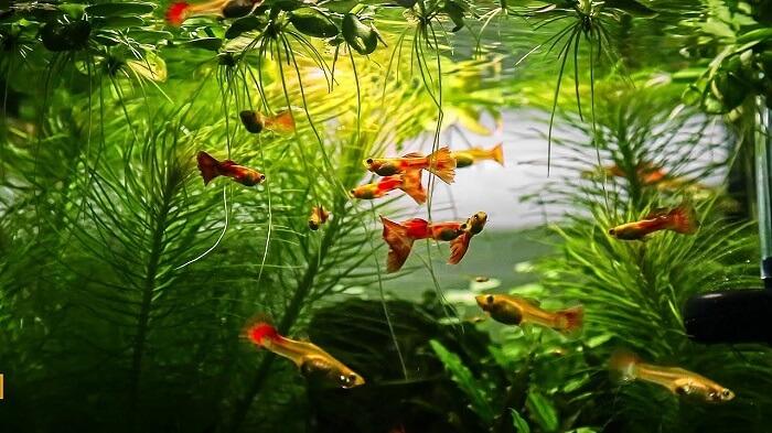 Nên thêm một chút cây thủy sinh cho bể cá 7 màu