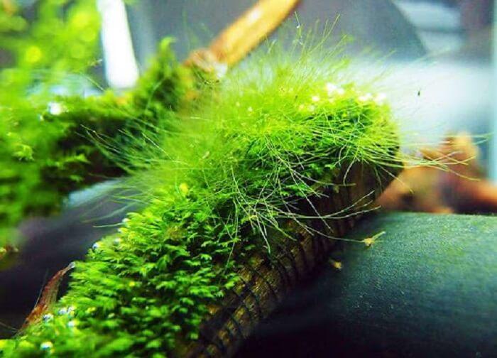Rong rêu cung cấp nguồn Vitamin dồi dào cho cá cảnh