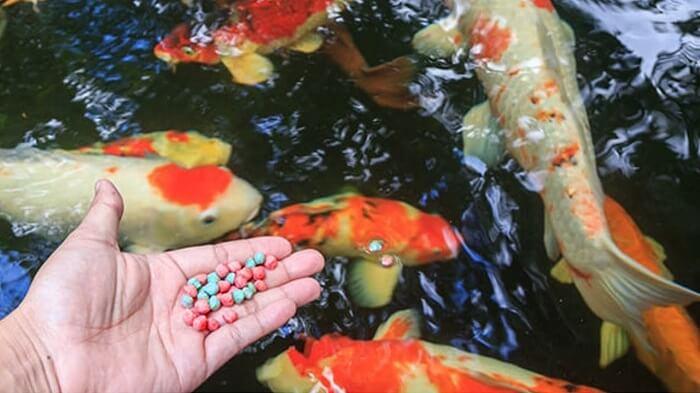 Cần phải lưu ý về thức ăn nếu muốn cá Koi sinh trưởng tốt